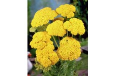ACHILLEA FILIPENDULINA CLOTH OF GOLD SEEDS - YELLOW YARROW - 500 SEEDS