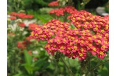 ACHILLEA MILLEFOLIUM RUBRA RED YARROW - 500 SEEDS