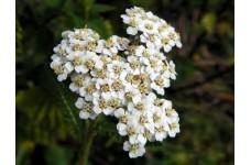 ACHILLEA MILLEFOLIUM WHITE - WHITE YARROW - 500 SEEDS