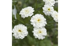 ACHILLEA PTARMICA BALLERINA SEEDS - PURE WHITE DOUBLE FLOWERS - 250 SEEDS