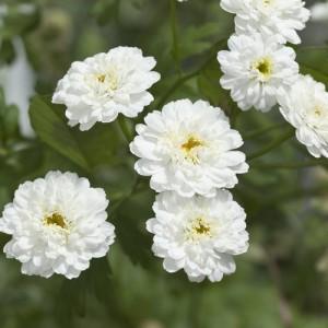 ACHILLEA PTARMICA BALLERINA SEEDS - PURE WHITE DOUBLE FLOWERS - 250 SEEDS