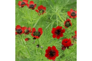ADONIS AESTIVALIS SEEDS - RED FLOWERED SUMMER PHEASANTS EYE - 100 SEEDS
