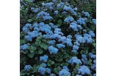 AGERATUM HOUSTONIANUM BLUE MINK SEEDS - 1000 SEEDS