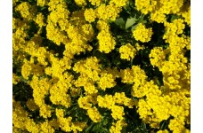 ALYSSUM MONTANUM MOUNTAIN GOLD PERENNIAL SEEDS - 100 SEEDS