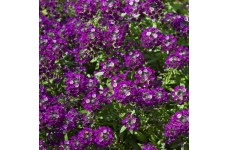 ALYSSUM ORIENTAL NIGHTS SEEDS - LOBULARIA MARITMA - 1000 SEEDS