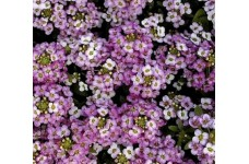 ALYSSUM ROYAL CARPET SEEDS - 1000 SEEDS