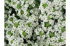 ALYSSUM SNOW CARPET SEEDS (CARPET OF SNOW / SNOW CLOTH) - 1000 SEEDS