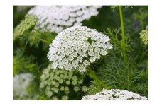 AMMI MAJUS BISHOPS FLOWER SEEDS - WHITE LACE FLOWER - 1000 SEEDS