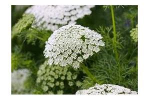 AMMI MAJUS BISHOPS FLOWER SEEDS - WHITE LACE FLOWER - 1000 SEEDS