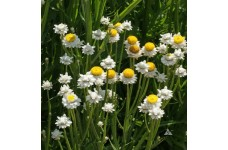 AMMOBIUM ALATUM SEEDS - WINGED EVERLASTING SEEDS - 100 SEEDS