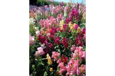 ANTIRRHINUM CHEERIO MIX SEEDS - MIXED COLOUR SNAPDRAGON SEEDS - 350 SEEDS