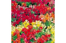 ANTIRRHINUM MAGIC CARPET MIX SEEDS - MIXED COLOUR SNAPDRAGON SEEDS - 500 SEEDS
