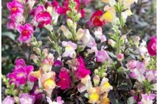 ANTIRRHINUM MAJUS NANUM CROWN MIX SEEDS - MIXED COLOUR SNAPDRAGON - 500 SEEDS
