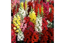 ANTIRRHINUM MAJUS TETRA MIX - MIXED COLOUR SNAPDRAGON - 500 SEEDS
