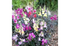 ANTIRRHINUM TWILIGHT MIXED SEEDS - MIXED COLOUR SNAPDRAGON - 500 SEEDS