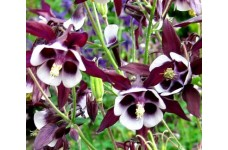 AQUILEGIA VULGARIS COLUMBINE WILLIAM GUINNESS - GRANNYS BONNET - 100 SEEDS