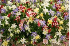 AQUILEGIA COLUMBINE VULGARIS DWARF MIX SEEDS - MIXED COLOUR - 100 SEEDS