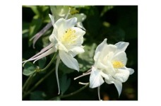 AQUILEGIA COLUMBINE CRYSTAL STAR WHITE SEEDS - GRANNYS BONNET - 100 SEEDS