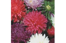 ASTER CAROUSEL MIXED COLOUR SEEDS - 100 SEEDS