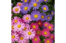 ASTER CHINA SINGLE MIX SEEDS - CALLISTEPHUS CHINENSIS MIXED COLOUR - 100 SEEDS