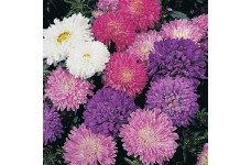 ASTER MILADY DWARF MIX SEEDS - CALLISTEPHUS CHINENSIS - MIXED COLOURS -  100 SEEDS