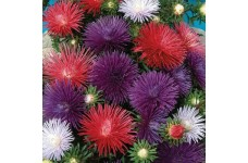 ASTER OSTERICH PLUME MIXED COLOUR SEEDS - 100 SEEDS