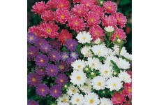ASTER SUPER PRINCESS MIXED COLOUR SEEDS - 100 SEEDS