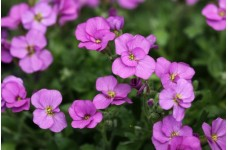 AUBRIETA LARGE FLOWERED HYBRID PERENNIAL SEEDS - 250 SEEDS