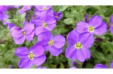AUBRIETA ROYAL BLUE PERENNIAL SEEDS - 250 SEEDS