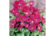 AUBRIETA ROYAL RED PERENNIAL SEEDS - 250 SEEDS