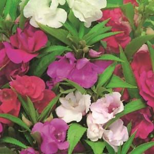 BALSAM DWARF BUSH FLOWERED MIX SEEDS - DOUBLE FLOWERS - 100 SEEDS