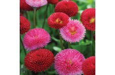 BELLIS POMPONETTE MIX (RED, WHITE & PINK MIX) PERENNIAL SEEDS - 100 SEEDS