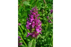 BETONY STACHYS - BETONICA OFFICINALIS - 100 SEEDS
