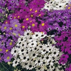 BRACHYSCOME IBERIDIFOLIA MIX SEEDS (SWAN RIVER DAISY / LITTLE MISSY) - 1000 SEEDS