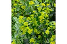 BUPLEURUM ROTUNDIFOLIUM GRIFFITHII GRIFFITI SEEDS - THOROW WAX - 50 SEEDS