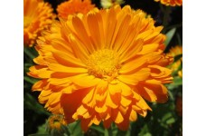 CALENDULA ORANGE KING POT MARIGOLD - 100 SEEDS