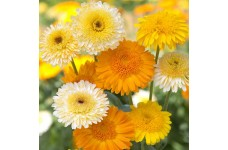 CALENDULA OFFICINALIS KINGLET FORMULA MIX SEEDS - POT MARIGOLD - 50 SEEDS