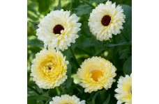 CALENDULA OFFICINALIS SNOW PRINCESS SEEDS - CREAM WHITE POT MARIGOLD - 50 SEEDS
