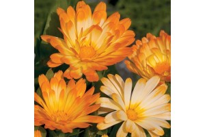 CALENDULA OFFICINALIS OOPSY DAISY SEEDS - YELLOW & CREAM POT MARIGOLD - 50 SEEDS