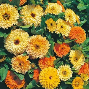 CALENDULA OFFICINALIS ART SHADES SEEDS - ORANGE YELLOW CREAM POT MARIGOLD - 50 SEEDS