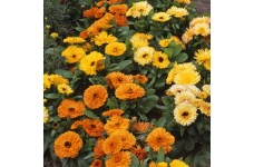 CALENDULA OFFICINALIS FIESTA GITANA SEEDS - ORANGE YELLOW CREAM POT MARIGOLD - 50 SEEDS