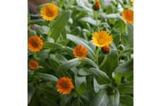 CALENDULA OFFICINALIS WINTER SUN SEEDS - COMMON POT MARIGOLD - 50 SEEDS