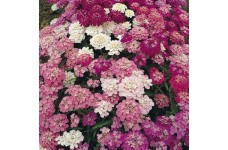 IBERIS UMBELLATA - CANDYTUFT DWARF FAIRY MIX - 200 SEEDS