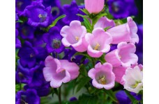 CANTERBURY BELLS SEEDS - CUP AND SAUCER MIX - CAMPANULA MEDIUM - 500 SEEDS