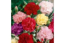 CARNATION CHABAUD MIX COLOUR SEEDS - 100 SEEDS