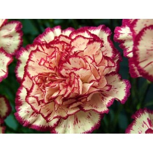 CARNATION DOUBLE STRIPED SEEDS - DIANTHUS CARYOPHYLLUS - 100 SEEDS