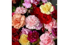 CARNATION DWARF FRAGRANCE MIX (MIXED COLOURS) PERENNIAL SEEDS - 100 SEEDS