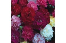CARNATION HARDY BORDER MIX (MIXED COLOURS) PERENNIAL SEEDS - 100 SEEDS