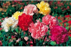 CARNATION SUPERB FORMULA MIX SEEDS - 100 SEEDS