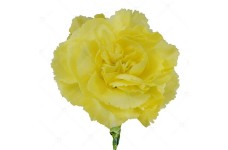 CARNATION CHABAUD MARIE YELLOW - DIANTHUS CARYOPHYLLUS - 100 SEEDS